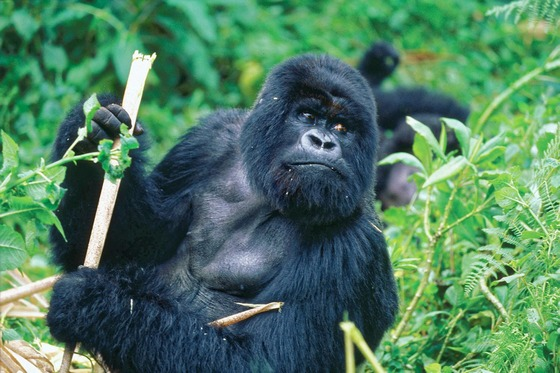 African gorillas in forest