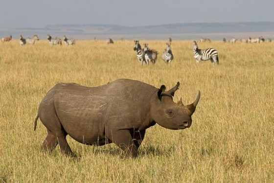 African rhino is native to Africa