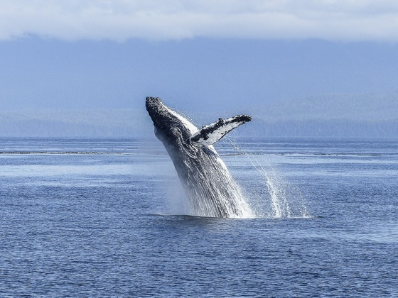 Humpback whale at play