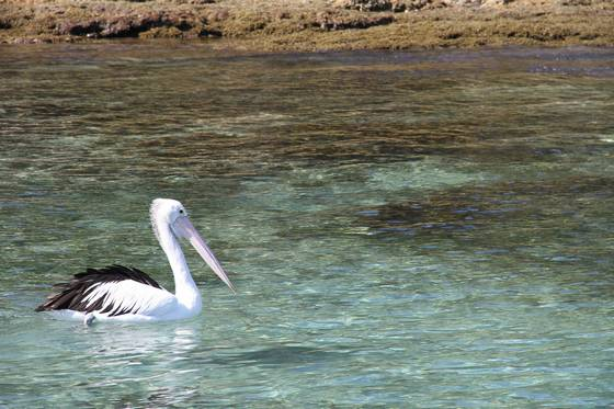 Pelican basking in bay waters